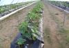 Sustrato, Sistema de Riego, Microtensiómetros, Nebulización y Fertirrigación para 6,5 Has de Cultivo Hidropónico